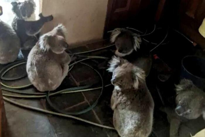 Чудесное преображение детеныша коалы, спасенного из австралийских пожаров