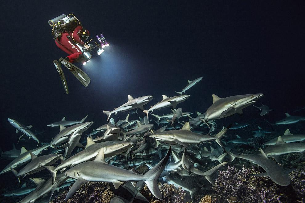 Shark Feeding Frenzy