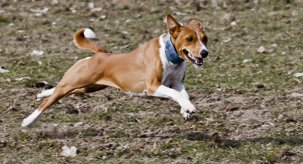 Басенджи - африканская нелающая собака. Фото