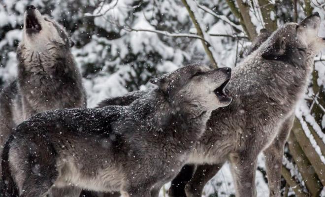 Лесник 3 дня завоевывал доверие волка: потом подошел и выручил из ледяного плена Культура