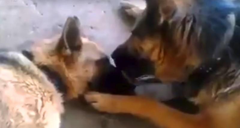 Пес поцеловал свою подругу после долгих родов. Это видео растрогало тысячи пользователей Сети.