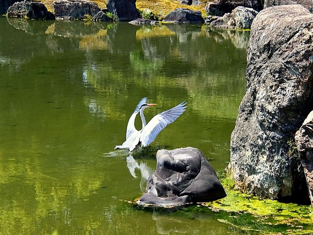 """""""В японском парке даже цапля взмахнула крыльями на счастье нам..."""""""