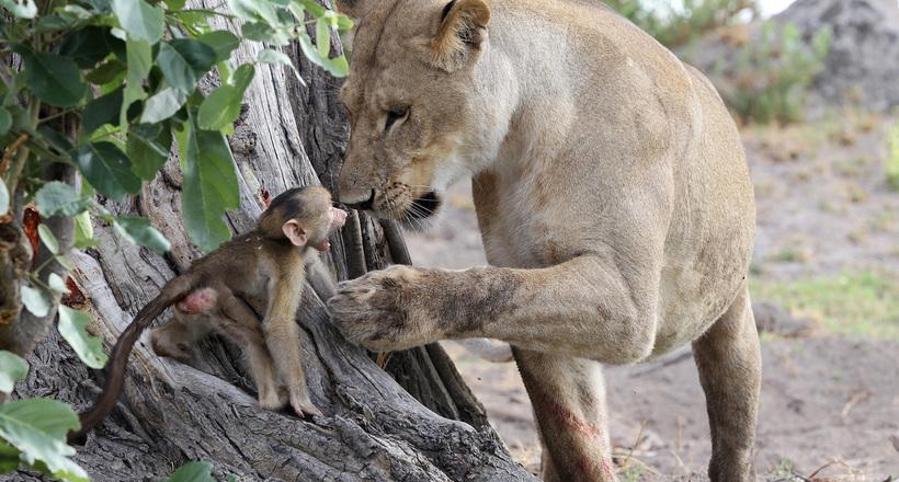 Львица набросилась на обезьяну, но затем заметила, что у нее есть детеныш