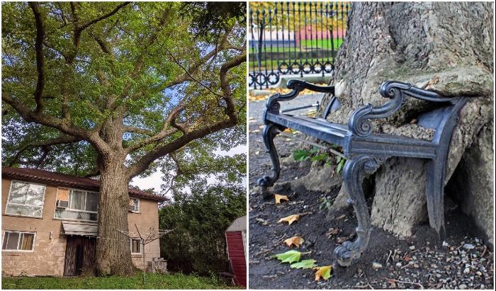 Тесные объятия, или Как деревья врастают в дома, лавочки и машины