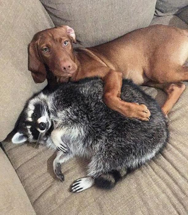От маленького енота отказалась мама, но он обрел дом и сестру…в лице собаки