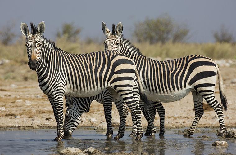 Какого цвета зебра и зачем ей полоски