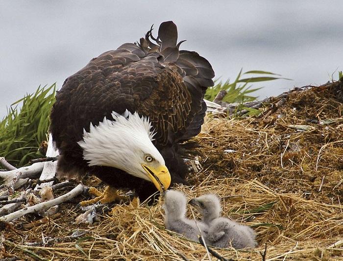 предлагает фото птенца орла вариант для тех