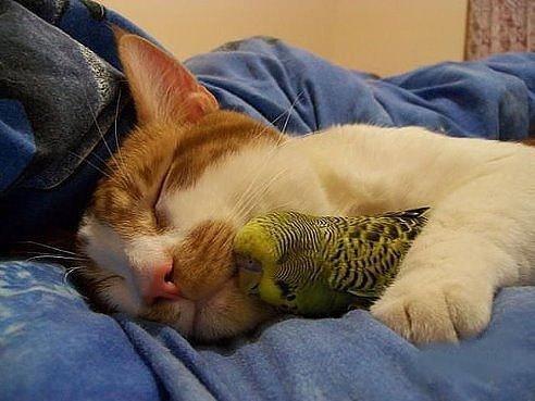 Кот очень трепетно заботится о семействе попугаев. (ДОБРОЕ ВИДЕО)