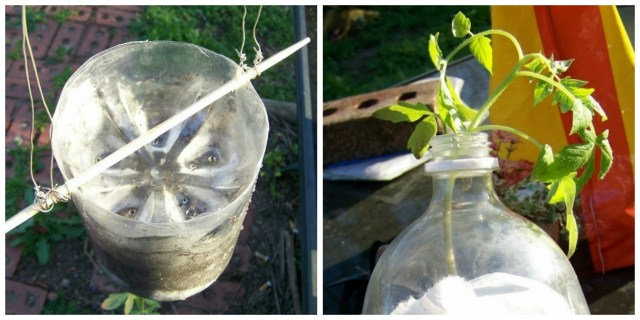 Необычный способ выращивания…