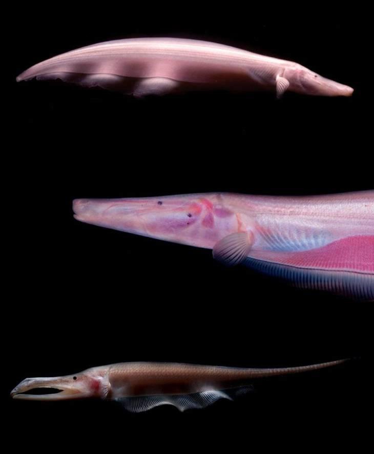 Электрическая рыба-нож животные, фотограф, цвета