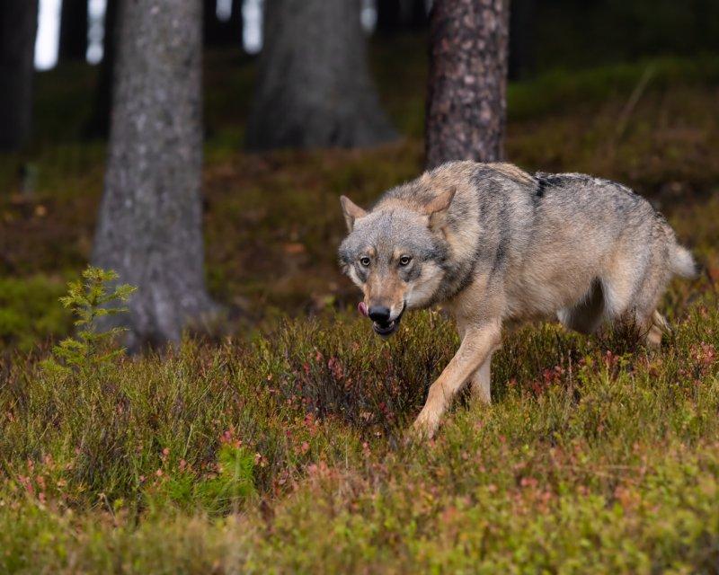 Волк без еды, волк, животные, медведь, пингвин, факты