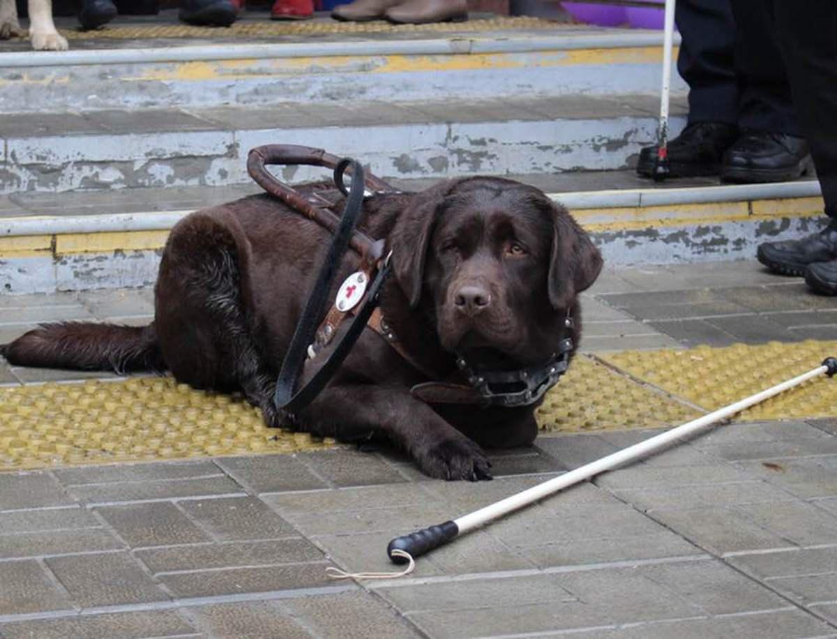 Свердловские единороссы оплатили лечение попавшего под машину пса-поводыря