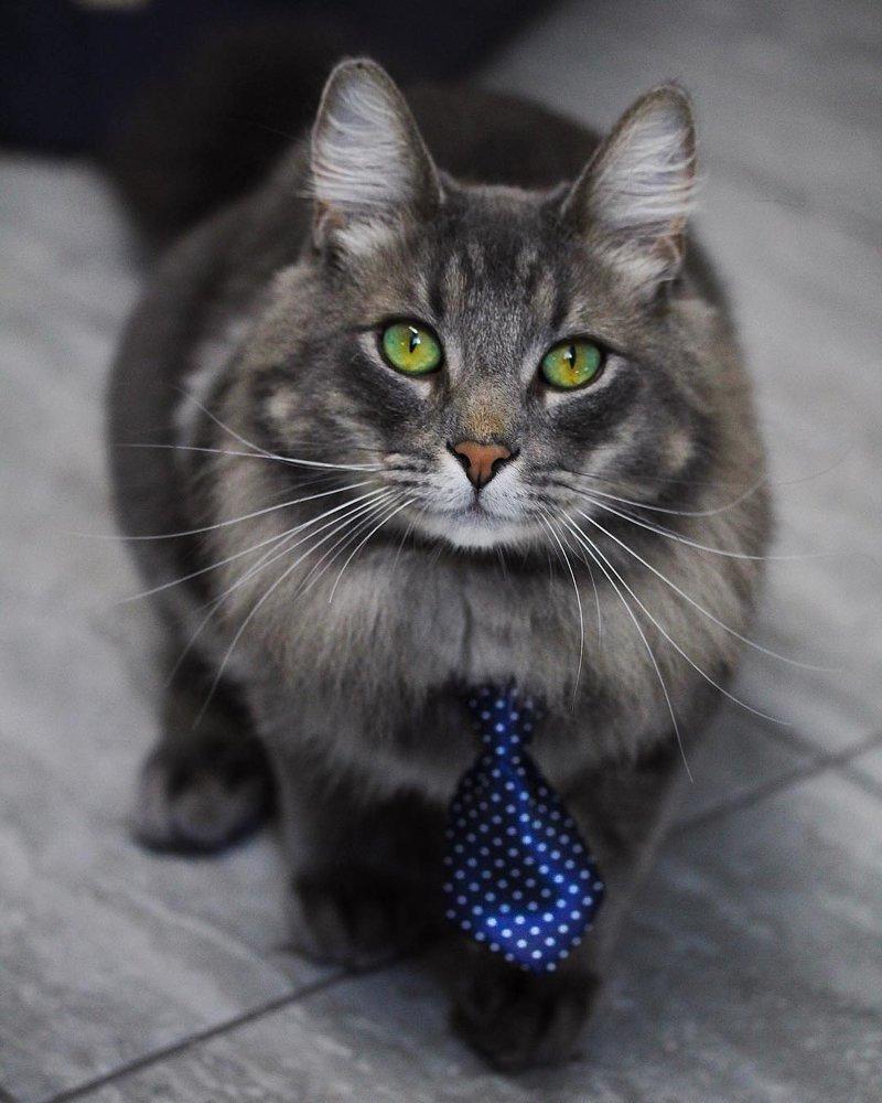 Иногда приходится выглядеть представительно кот, коты, опасный кот, прикол, суровый