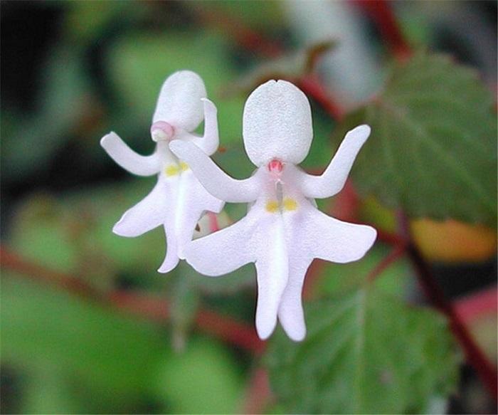 Очень редкое растение, которое многие любители орхидей называют коллекционным.