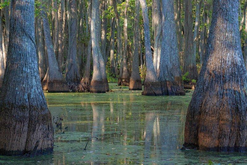 Мощь кипарисов на востоке Техаса