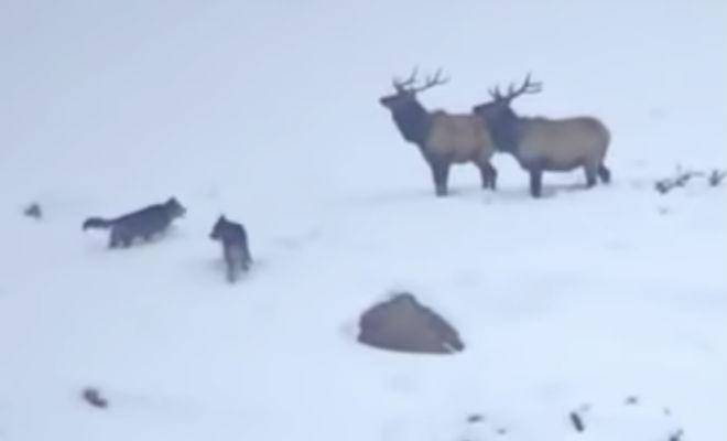 Волки вышли навстречу оленям на охоту. Но олени оказались хитрее и заманили их в глубокий снег