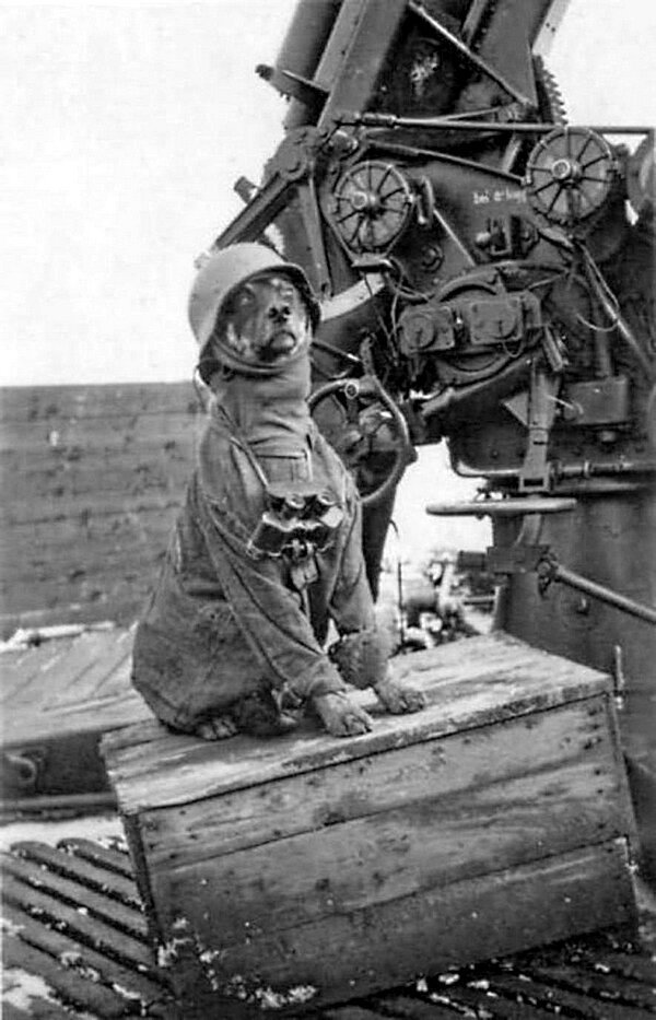 Немецкие зенитчики развлекаются переодев свою собаку. 1943 год.