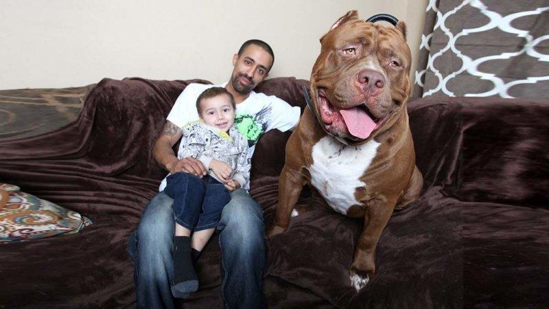 Знаменитый Халк со своими хозяевами гиганты, красота, молоссы, огромные, собаки