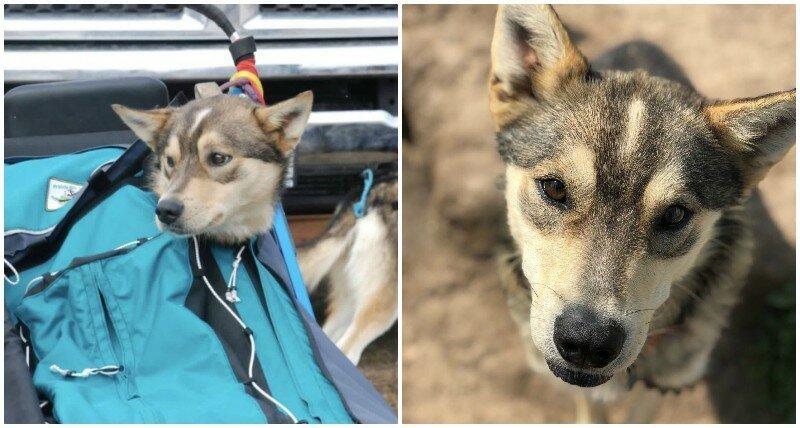 13. Клем (Clem) - 2 года животные, истории, мило, работа, собака, собаки, упряжка, фото
