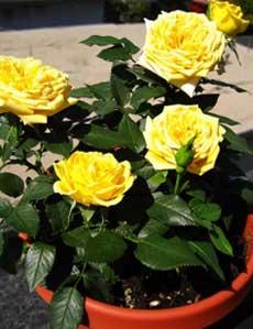 Болезни и вредители домашних роз