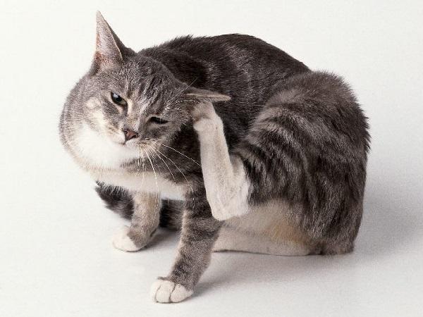 блохи у домашней кошки