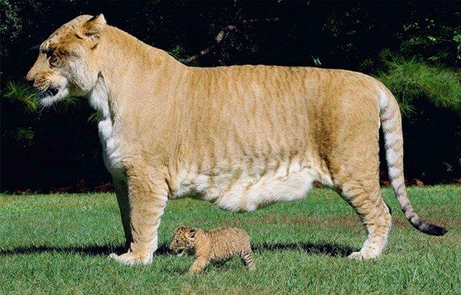 Самая крупная кошка на земле! животные,интересное