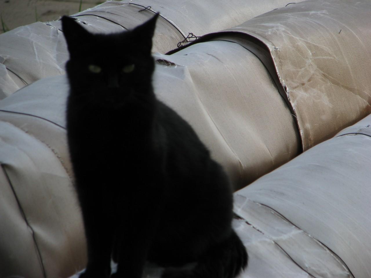 Братья наши меньшие: ну и что, если черный кот дорогу перейдет?