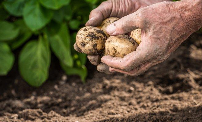 Выращивание раннего картофеля под пленкой