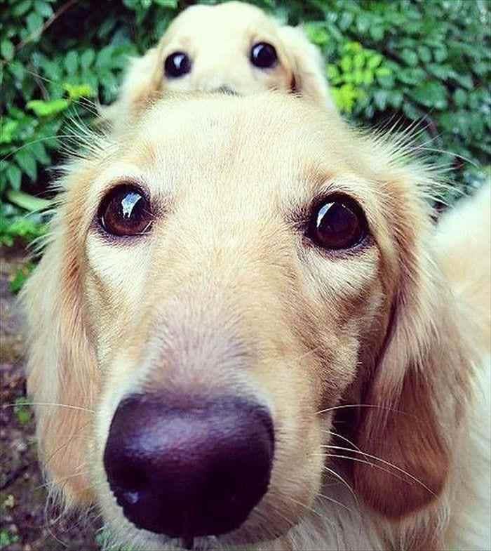 Ох и постарались папочки! 20 ФОТО отцов — взрослых собак и их милейшие, маленькие копии!