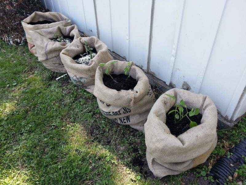 Огород в мешках: оригинальный способ получить урожай