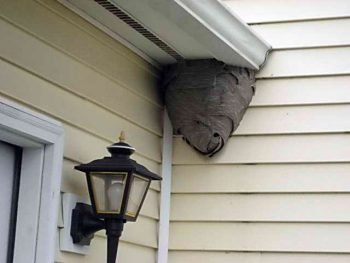wasp nest in house