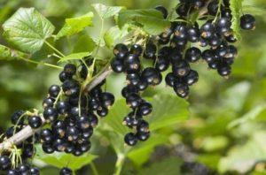 5 шагов к богатому урожаю смородины