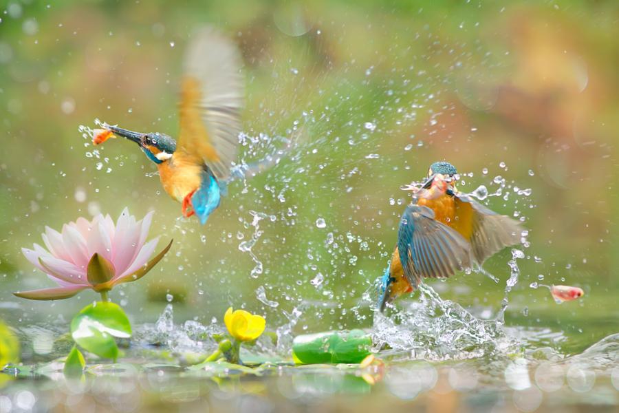 ~ Kingfisher catch fish ~, автор — FuYi Chen на 500px.com