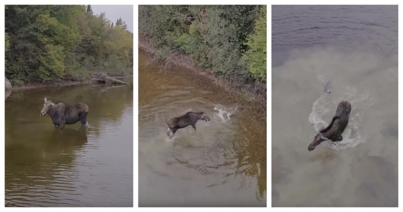Канадцу удалось заснять впечатляющую водную схватку волка и лося