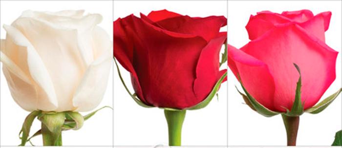 Розы на 14 февраля - белые, красные, розовые