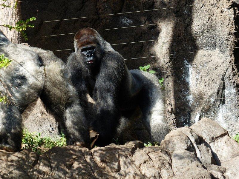 6. Горная горилла барс, коала, панда, редкие животные, тигр