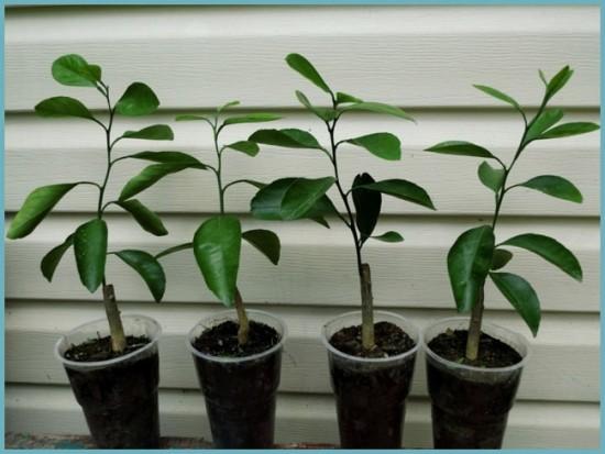 размножение мандаринового лерева