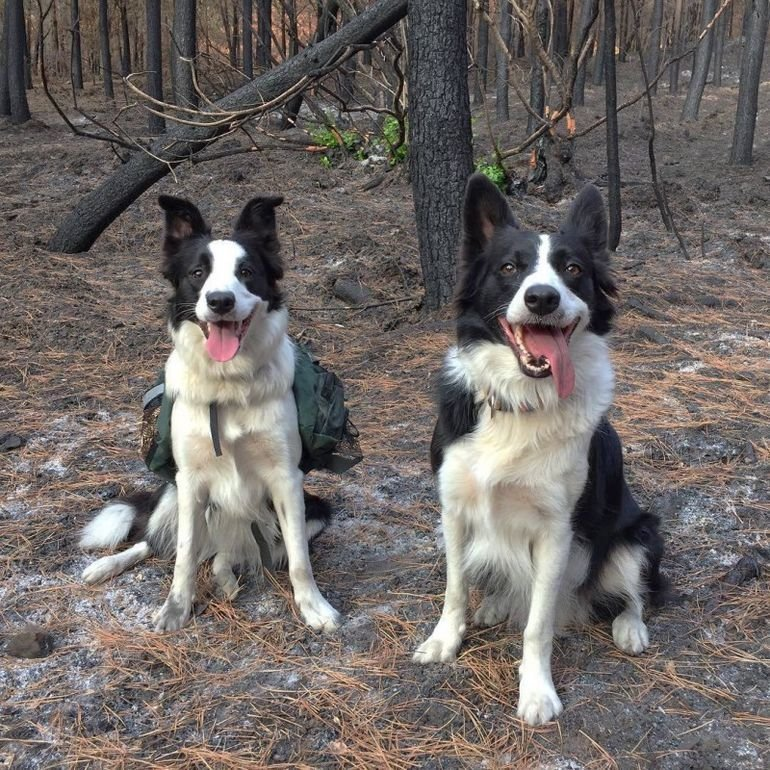 Чтобы восстановить лес, собакам требуется просто играть животные, лес, помощь, посадка, собака, собаки, спасение, чили