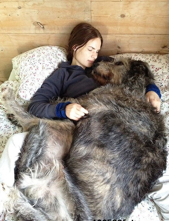 Ирландский волкодав - комнатная собачка гиганты, красота, молоссы, огромные, собаки