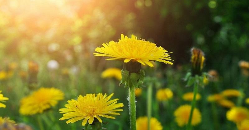 Желтый женьшень у вас под ногами