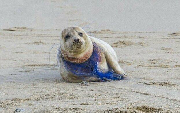 Добровольцам не удалось помочь тюленихе, полузадушенную пластиковой сетью природа