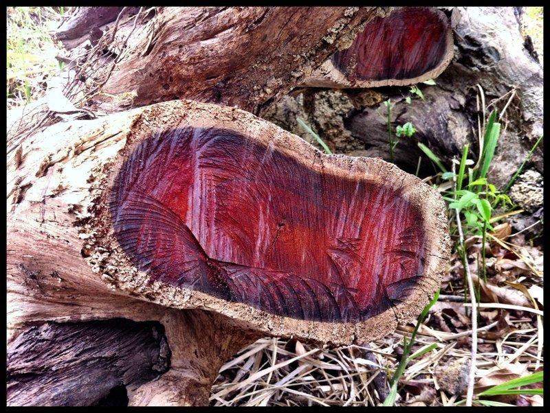 Древесина Кокоболо деревья, древесина, интересное, природа, факты