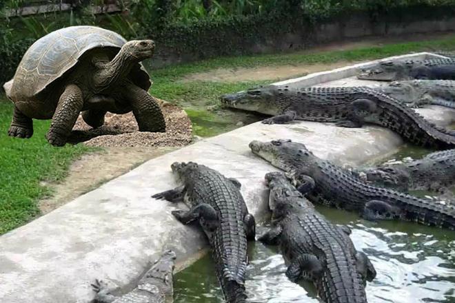 Хищная черепаха нападает на животных, птиц и даже крокодилов