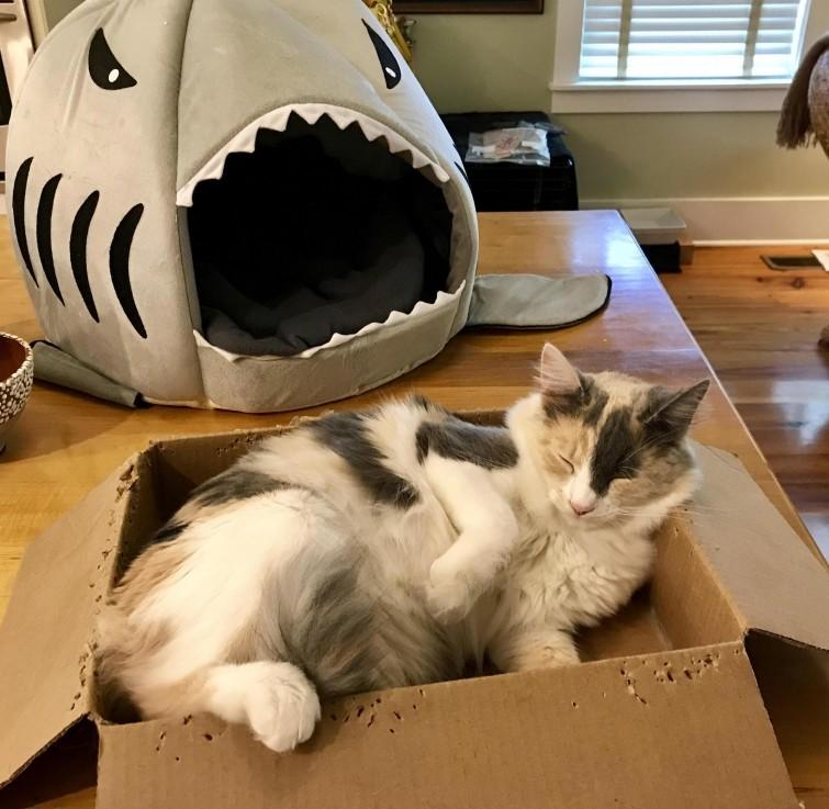 """""""Она умоляла меня купить ей роскошную кроватьв виде акулы, и вместо этого она просто спит в картонной коробке"""" гифки, животные, кошки, приколы"""