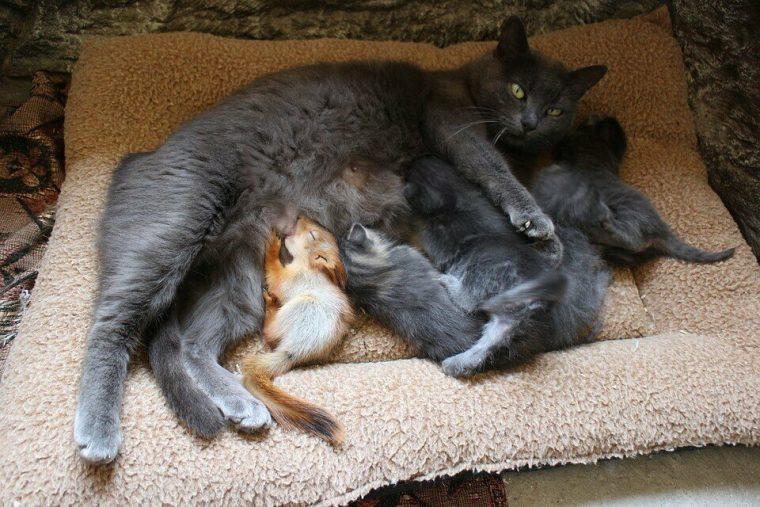 Чужих деток не бывает: Мурка стала приемной мамой для крошечных бельчат