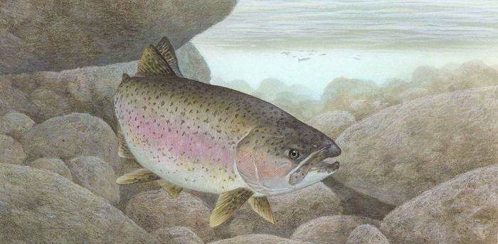 Эволюция за сто лет: как радужная форель превратилась из обитателя океана в озерного жителя