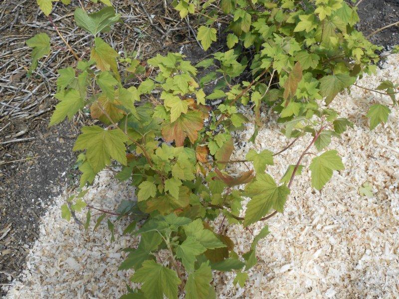 Выращивайте почву – ягоды вырастут сами! дача,почва,садоводство