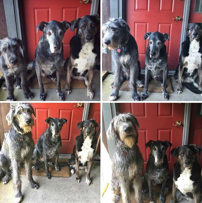 33. Хроники взросления: ирландский волкодав (слева): в 4 месяца, 6 месяцев, 8 месяцев и 10 месяцев волкодав, волкодавы, домашние питомцы, забавные собаки, собаки, собаки и дети, собаки и хозяева, фото собак