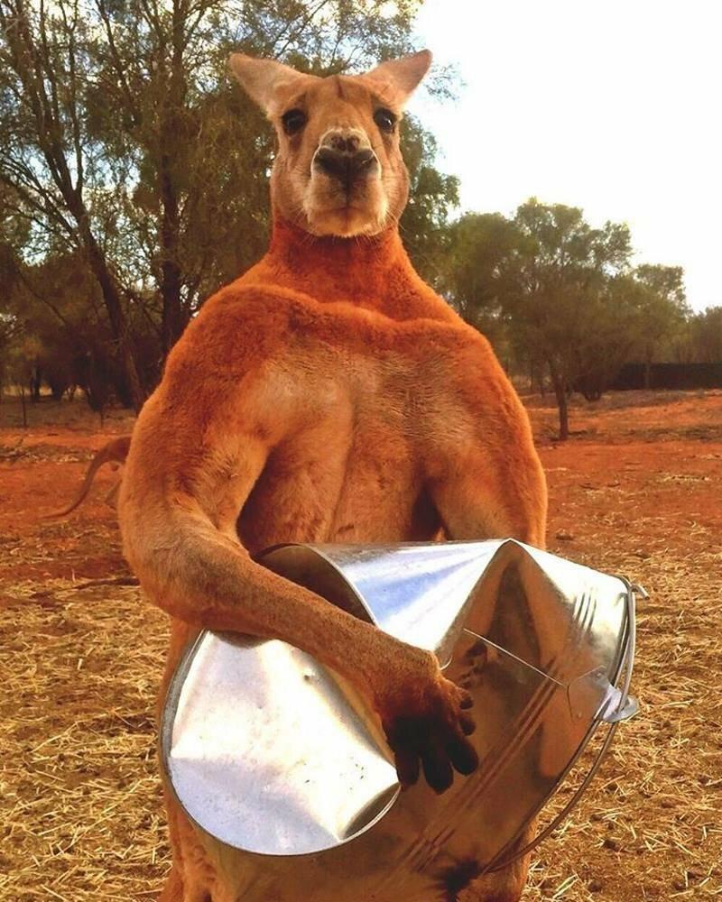 Шварценеггер среди кенгуру австралия, видео, животные, кенгуру, нападение, параплан