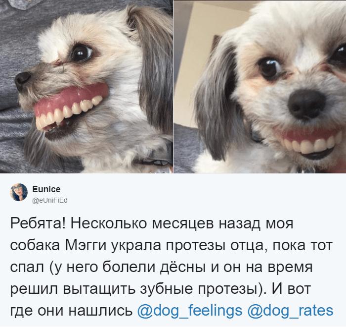 Питомица стащила зубные протезы её отца, пока тот решил немного вздремнуть животные, зубные протезы, зубы, прикол, собака, юмор